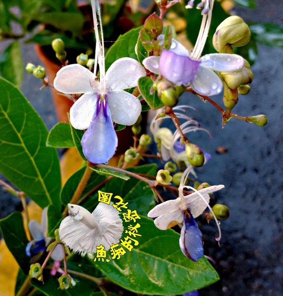 [藍蝴蝶花盆栽] 6寸盆 多年生觀賞花卉盆栽 送禮小品盆栽 半日照佳
