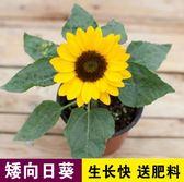 花卉種子 矮向日葵種孑向日葵種籽小盆栽食用觀賞庭院四季易活陽臺花卉種子-凡屋