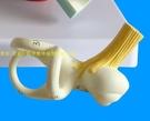 人體耳朵半規管 耳蝸 半規管解剖模型 內耳 耳模型 耳迷路模型