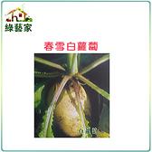 【綠藝家】C02.春雪白蘿蔔種子8克(約700顆)