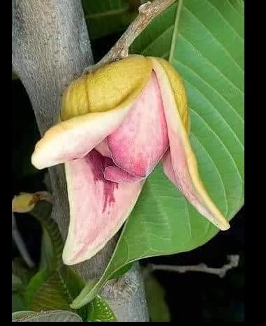 花花世界_水果苗--莎可亞--來自南美洲《厄瓜多》的水果 /4吋盆/高30cm/Ts