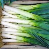 CARMO 日升大蔥種子 園藝種子(單份)【FR0109】