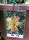 水生植物 ** 鳶尾花-黃鶯 ** 8吋盆/ 高40-60公分/花色高雅【花花世界玫瑰園】S