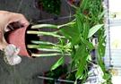 活體植物 [馬拉巴栗 美國花生 發財樹] 室內室外皆可 3吋盆栽