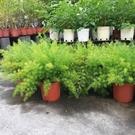 花花世界_觀葉植物--迷你小綠竹--垂葉...