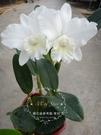 ★Mini Star★ 千姿蘭園Chian-Tzy Orchids 嘉德麗雅蘭 Cattleya-高木淨雪
