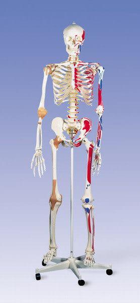 A13德國3B頂級成人全身骨骼模型(實用的人體模型/人骨模型/骨骼模型/骨架模型)