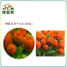 【綠藝家】H32.美洲千日紅(橙色,高50~70cm)種子20顆