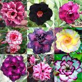 CARMO沙漠玫瑰混合種子(5顆裝) 多色單瓣重瓣混【I35-1】