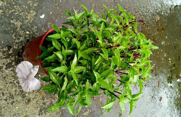 活體 [大九層塔 紅骨九層塔] 室外植物 5-6吋盆栽 送禮小品盆栽
