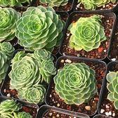 CARMO山地玫瑰Greenovia aizoon DwarfCushion種子(10顆裝)【F52-8】