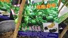 花花世界_季節水果--台灣香檬  扁實檸檬(嫁接無刺)--**天然營養**/1尺盆/高50~90CM/TC