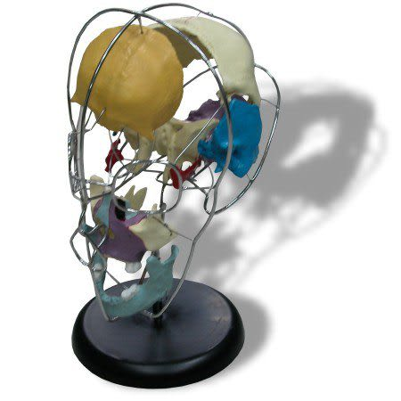 JP-215成人骨塊分離頭顱骨模型(實用的人體模型/人骨模型/骨骼模型/頭骨模型/教學模型/頭顱模型)