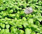 [甜羅勒盆栽 義大利麵青醬原料] 5-6吋盆活體香草植物盆栽, 可食用可泡茶