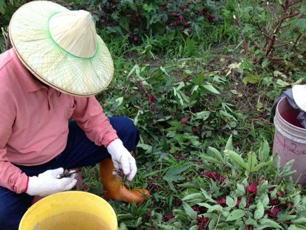[台東]採果體驗-自然主義農園〔11月洛神花〕