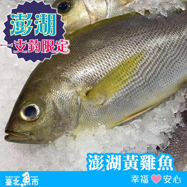 【台北魚市】 澎湖黃雞魚 300g±10%