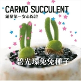CARMO多肉植物兔斯基碧光環 種子10顆【G52】