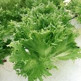 預購 【安心蔬食】水耕蔬菜-綠火焰萵苣(150g)