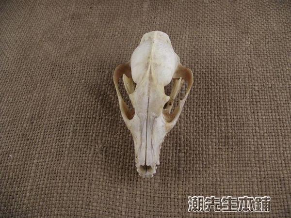 動物標本 骨骼標本模具15狐貍頭骨標本擺件動物頭骨標本模型化石羊頭骨標本 城市科技DF