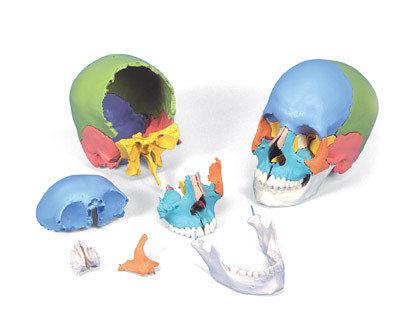 A291德國3B頂級可拆式成人頭顱骨模型(實用的人骨模型/骨骼模型/頭骨模型/教學模型/頭顱模型)
