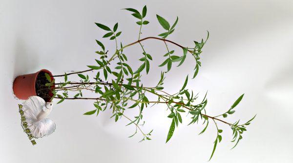 香草植物 芳香萬壽菊盆栽  3吋盆活體盆栽, 可食用可泡茶可防蚊
