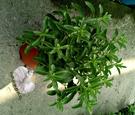 5吋盆 [大甜菊盆栽 葉子可生吃 0熱量代糖 ]活體香草植物盆栽, 可食用.料理或泡茶~半日照佳