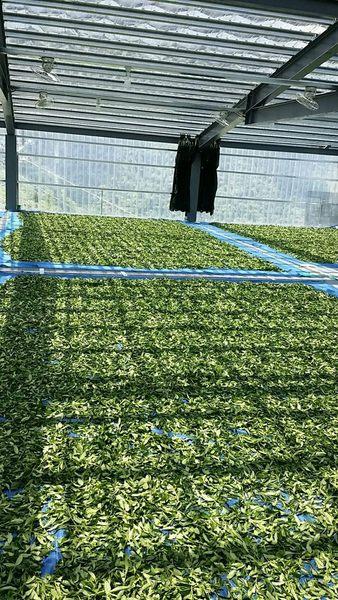 ❤支持台灣小農❤翠巒南線烏龍茶濃郁型❤一包150克❤茶香 茶農❤翠巒 高山茶 綠茶 烏龍茶❤