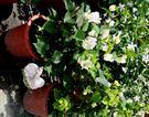 [白色/綠色 九重葛盆栽] 6-8吋盆 活體室外植物 開花植物盆栽