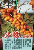 水果苗 ** 沙棘(黃色) ** 4吋盆/高40-60cm /新品限量水果維生素C王【花花世界玫瑰園】S