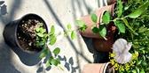 [溫帶藍莓苗] 5吋盆 活體盆栽, 結果可食用 (已經結過果實)