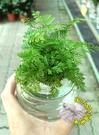 [水耕兔腳蕨盆栽 ] 專利玻璃瓶 水耕植...