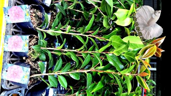 [迪士茶花苗] 3.5吋 觀賞茶花盆栽 活體花卉盆栽 半日照 需換盆才會比較快開花