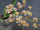 Mini Star 千姿蘭園Chian-Tzy Orchids 迷你蘭花 文心蘭 Oncidium -千姿小陽春
