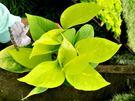 [金黃色黃金葛] 室內植物 3吋活體盆栽 送禮小品盆栽