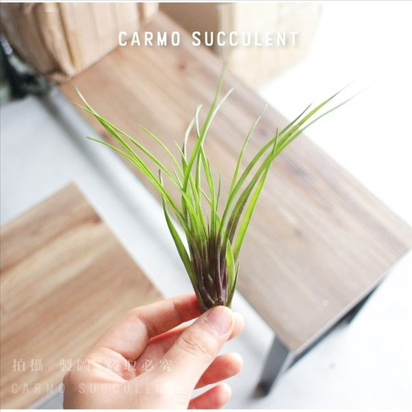 CARMO球拍。紫花鳳梨空氣鳳梨(單入)【KF111】