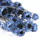 日本大地農園,藏藍小雛菊,鑽石花,一份4-5個花頭