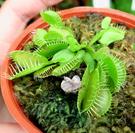 活體 [中小尺寸 綠色捕蠅草 捕蚊草] 食蟲植物3吋盆栽 可以捕捉小昆蟲 光線需充足