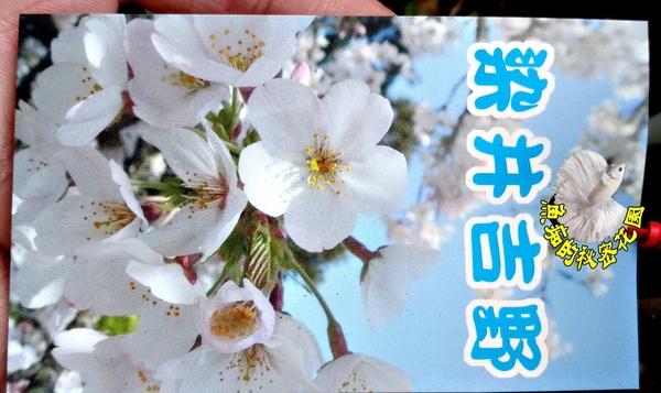 [染井吉野櫻] 櫻花苗 小櫻花樹苗 4寸黑軟盆 室外多年生觀賞花卉盆栽 換大盆或種地上快開花