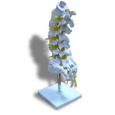 JP-207A成人附尾骨腰椎模型(實用的人體模型/人骨模型/骨骼模型/骨架模型/教學模型/局部脊椎模型)
