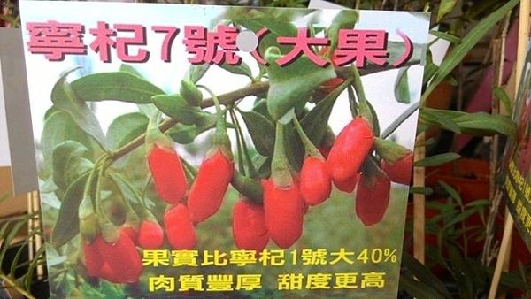 水果苗 ** 寧杞7號 (大果枸杞) ** 4.5吋盆/高10-40cm/?養價值高【花花世界玫瑰園】R