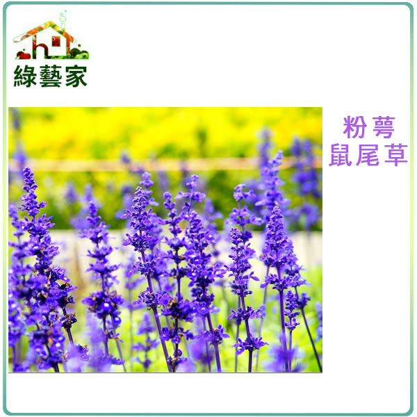 【綠藝家】大包裝H17.粉萼鼠尾草種子750顆