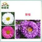 【綠藝家】H21.翠菊(蜜蕾,混合色,高...