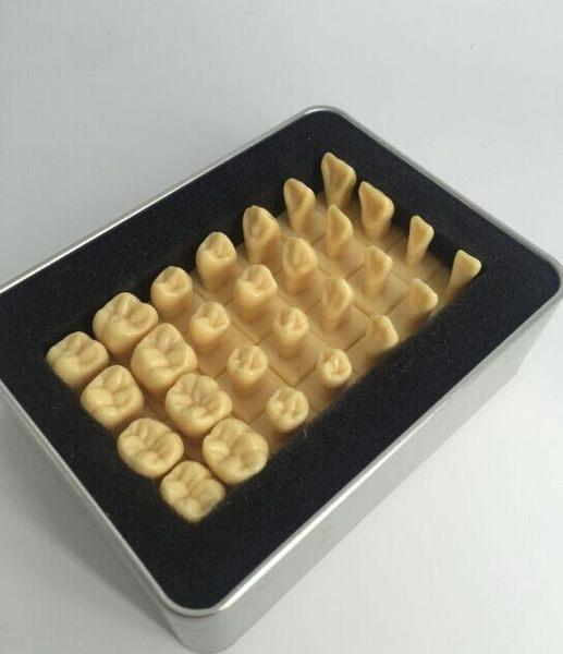 尺寸兩種以上請詢問報價牙科模型 牙齒模型 1.2倍恒牙帶