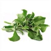 CARMO日本冰菜種子 園藝種子(100顆) 【FR0047】