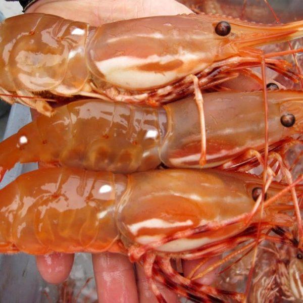 ㊣盅龐水產 ◇加拿大牡丹蝦L ◇1kg±5%/盒 特大 超滿足 零售$1895元/盒 歡迎 餐廳 批發 團購