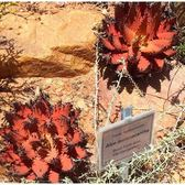 CARMO龍舌蘭Aloe melanacantha種子(5顆) 【B53】