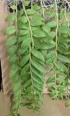 花花世界_季節花卉--天宮石斛蘭(瀑布蘭),優良觀賞植物/6吋吊盆/高15~30公分/Tm