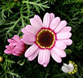 季節限定[花環菊盆栽] 5寸盆 多年生觀賞花卉盆栽 送禮小品盆栽 室外植物