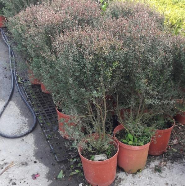 圍籬植物 ** 松紅梅 ** 8吋盆/高45-70cm 花朵小巧可愛多花【花花世界玫瑰園】R