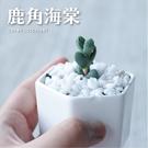CARMO鹿角海棠多肉成株(單顆)【Z0094】